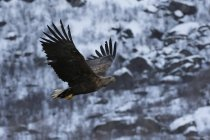 Aquila munita bianca in volo, Lofoten e Vesteralen Islands, Norvegia — Foto stock