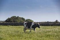 Vaca pastando en campo verde bajo un cielo azul - foto de stock