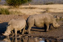 Rhinoceros at watering place — Stock Photo