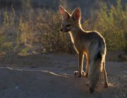Cape Fox with rat on sand — Stock Photo
