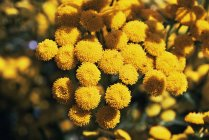 Flores tansy amarelas na luz solar brilhante — Fotografia de Stock