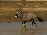 Gemsbok walking through water, Kgalagadi Transfrontier Park, Africa — Stock Photo