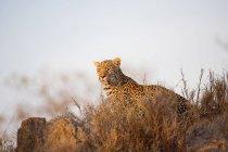 Leopardo che si trova su erba asciutta nella calda luce del sole — Foto stock