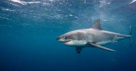 Weißer Hai schwimmt unter Wasser — Stockfoto