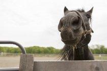 Портрет любопытной черной лошади, смотрящей над забором — стоковое фото