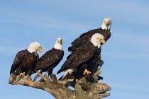 Weißkopf-Seeadler hocken auf trockenen Baum mit blauem Himmel — Stockfoto