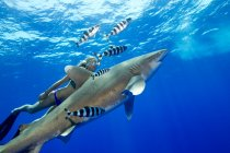 Woman swimming with oceanic whitetip shark with striped fish under water — Stock Photo