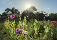 Field of red and purple wildflowers in evening sunlight — Stock Photo