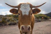 Portrait de vache sur piste de terre, Ile de la Réunion — Photo de stock