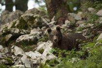 Retrato do filhote de urso pardo na floresta, Markovec, Eslováquia — Fotografia de Stock