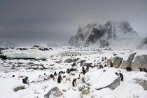 Gentoo пінгвін колонії, ці острови, Антарктида — стокове фото