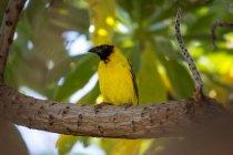 Tessitore del villaggio o Ploceus Cucullatus seduto sul ramo, close-up, Mauritius — Foto stock