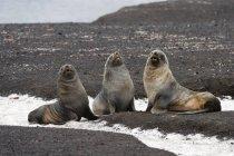 Tres focas antárticas aullando en la orilla - foto de stock