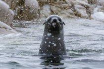 Ritratto di Foca pelliccia antartica, Portal Point, Antartide — Foto stock