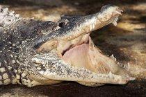 Coccodrillo con la bocca aperta, primo piano — Foto stock
