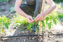 Cropped shot of man tending plants in garden — Stock Photo