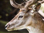 Portrait of deer, close-up, Aarhus, Denmark — Stock Photo