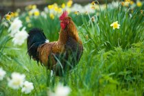 Pie de gallo en Prado Narciso en yarda - foto de stock