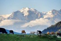 Kühe grasen auf der grünen Wiese mit Blick auf die schneebedeckten Berge — Stockfoto