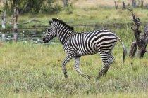 Burchell zebra running in grassland, Khwai concession, Okavango delta, Botswana — Stock Photo