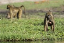 Chacma baboon carrying newborn at water edge, Savuti marsh, Chobe National Park, Botswana — Stock Photo