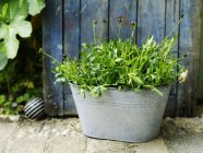 Garden plant with flowerbuds in rustic tin on path — Stock Photo