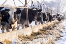 Row of cows standing near fence at wintertime, ural, russia — Stock Photo