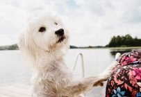Coton de tulear dog on hind legs after swimming, Orivesi, Finland — Stock Photo