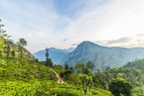 Tea plantation, Ella, Sri Lanka — Stock Photo