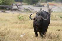 Cape buffalo and white bird standing in grassland — Stock Photo