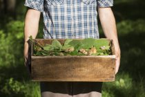 Man holding crate of foraged wild herbs and snails, Vogogna, Verbania, Piemonte, Italy — Stock Photo