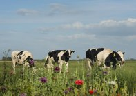 Drei Kühe grasen auf dem Feld, aagtekerke, zeeland, netherlands — Stockfoto
