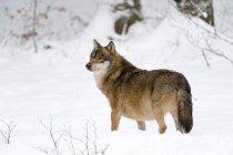 Lobo gris al Parque Nacional del bosque bávaro, Baviera, Alemania - foto de stock