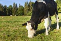 Kuh weidet im Sonnenlicht auf Feld — Stockfoto