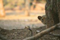 Левеняти визирав з-за стовбур дерева, Мана басейни Національний парк, Зімбабве — стокове фото