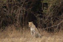 Портрет Леопард на Мана Бассейны Национальный парк, Зимбабве — стоковое фото