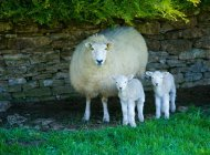 Портрет овец и двух агнцев, укрывания каменной стеной — стоковое фото