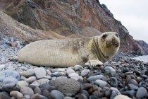 Vista laterale a livello della superficie della foca elefante settentrionale sulla spiaggia rocciosa dell'isola di Guadalupe, Messico — Foto stock