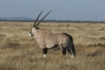 Oryx випасу на рівнинах, Національний парк Етоша, Намібія — стокове фото