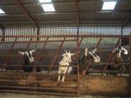 Чотири кіз фотографіях хтось дивитися вбік у сараї ферми — стокове фото