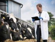 ПТО цифровий планшетний оглядають корів, в той час як годування на молочній фермі — стокове фото