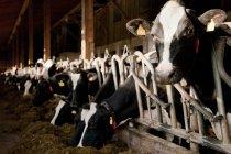 Перегляд корів з тегами поспіль в стайні — стокове фото