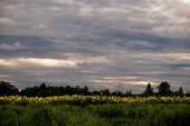 Field of sunflowers, Ural, Sverdlovsk, Russia, Europe — Stock Photo