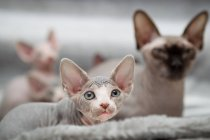 Sphynx kitten with mother, focus on foreground — Stock Photo