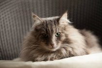 Animal portrait of Norwegian forest cat looking at camera — Stock Photo