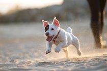 Джек Рассел терьер бегает по пляжу — стоковое фото