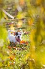 Jack russell lying on grass looking at camera — Stock Photo
