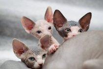 Sphynx kittens peeking over mother — Stock Photo