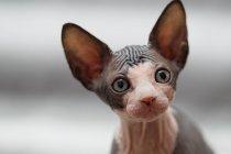 Animaux portrait de sphynx chat regardant loin — Photo de stock