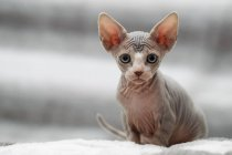 Animal portrait of sphynx cat looking at camera — Stock Photo